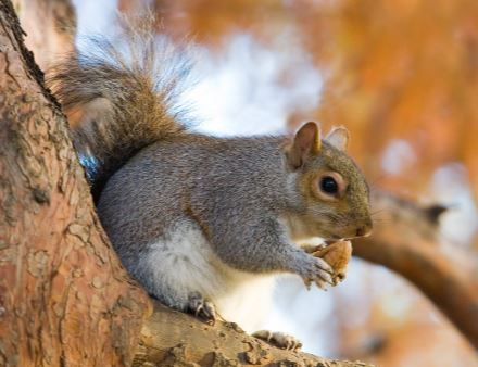 tree squirrel removal walnut creek