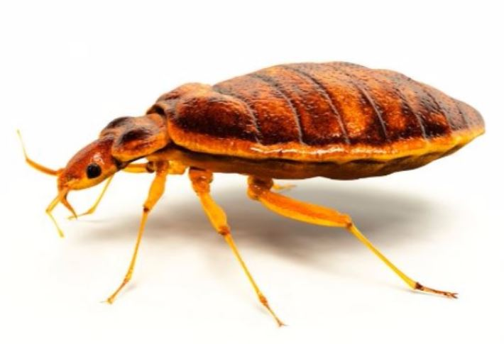 a picture of a bed bug in walnut creek, ca