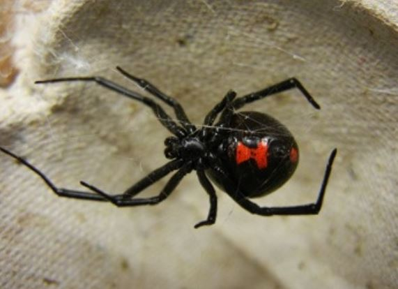 this is an image of black widow for black widow nest