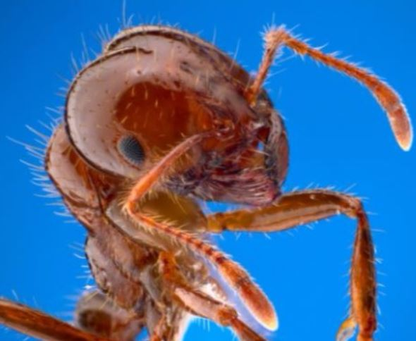 a picture of a fire ant infestation in san pablo, ca
