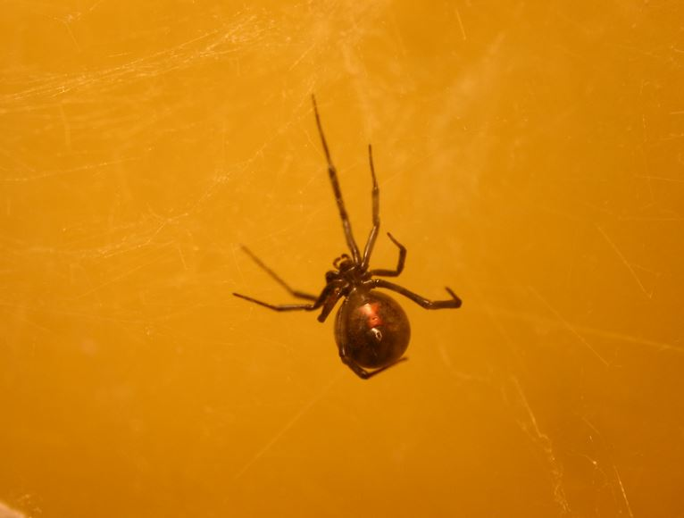 kill black widows contra costa county