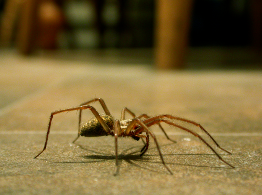 a picture of a spider for pacheco pest control